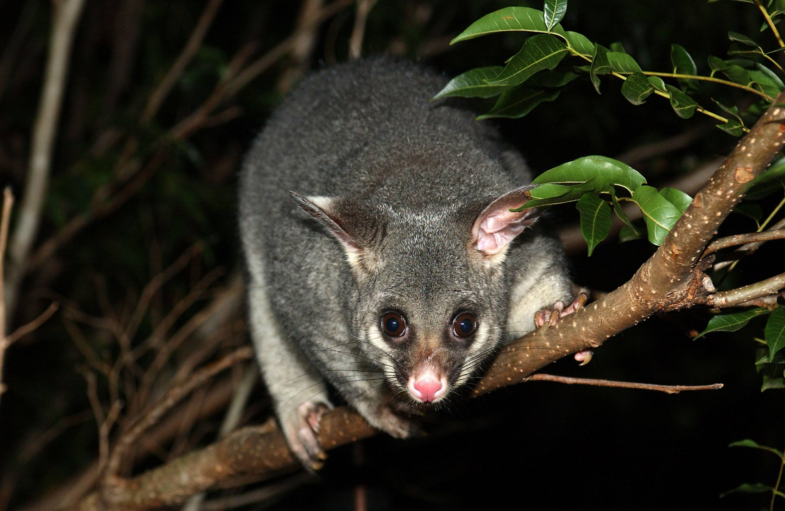 Possum - Possum Removal & Control Sydney – Pestige Solutions