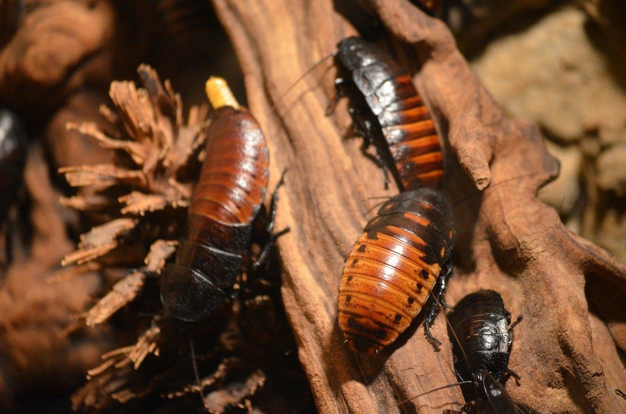 Cockroach Pest Control & Removal Sydney – Pestige Solutions