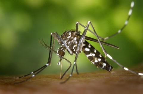 Mosquito - Mosquito Control Sydney – Pestige Solutions