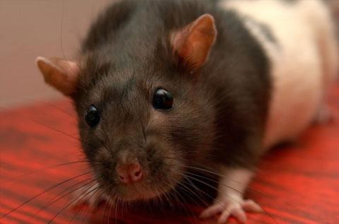 Rat & Mice Control – Exterminator Sydney – Pestige Solutions