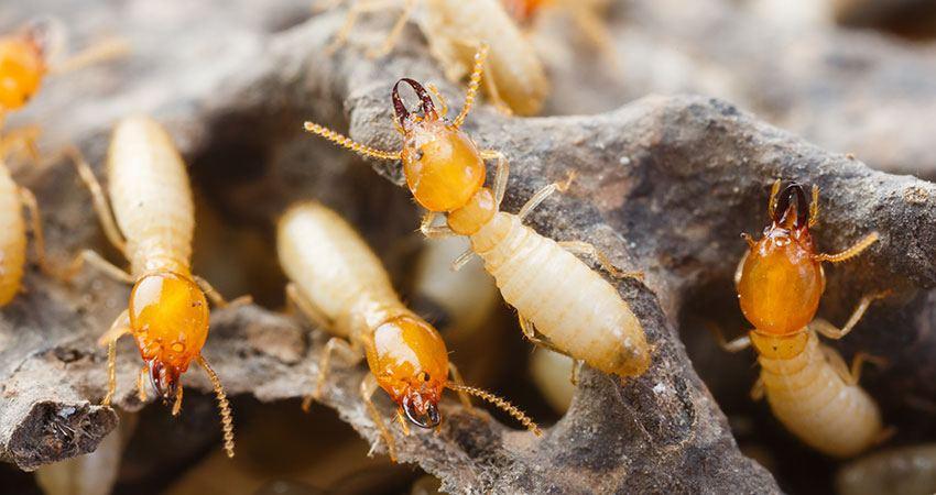 termites control - Strata Pest Control Services - Pestige Solutions