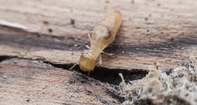 A termite causing damage
